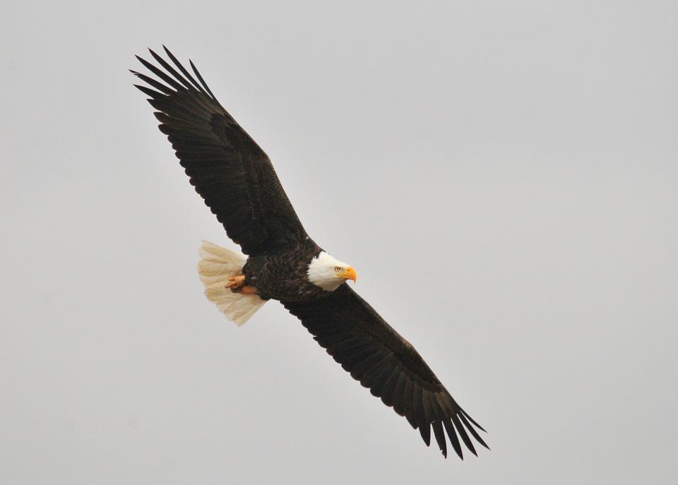 bald-eagle-1018717_960_720